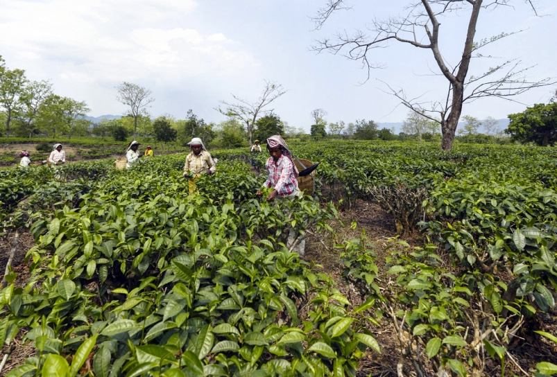 Slavearbeid på indiske teplantasjer